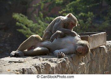 rhesus, macaco, preparación, un, macho