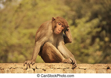 rhesus, macaco, sentado, en, un, cerca, en, el, calle, nueva...