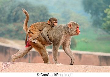 rhesus, macaque, affen