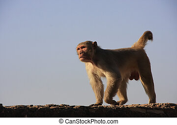 Rhesus macaque (Macaca mulatta) walking on a wall of ...