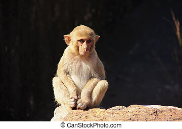 Rhesus macaque sitting at Taragarh Fort, Bundi, India - ...