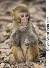 Rhesus Macaque the best-known species of Old World monkeys...