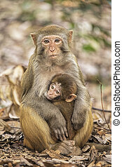 Rhesus Macaque the best-known species of Old World monkeys -...