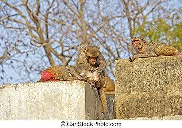 rhesus,  macaques