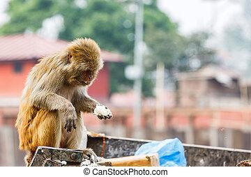 Rhesus monkey looking for food