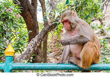 Rhesus monkey sitting on the fence - Photo of a rhesus...