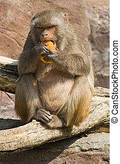 rhesus, mono, comida, naranja