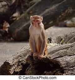 rhesus, mono, en, el, heidelberg's, zoo, alemania