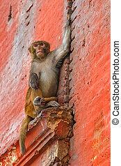 rhesus, mono, sentado, en, la pared
