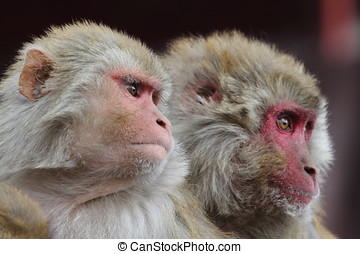 rhesus, monos