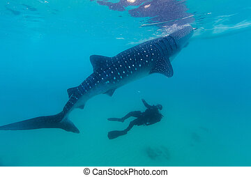rhincodon, ballena, submarino, retoño, (, typus), tiburones...