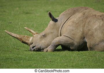 Rhino - An African white rhino asleep in the sunshine