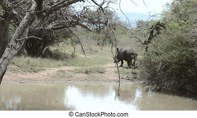 Rhino at lake  in South Africa