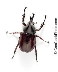 rhino beetle bug isolated on white