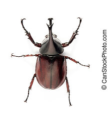 rhino beetle bug isolated on white background