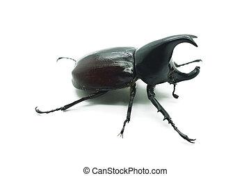 Rhino big horn beetle bug