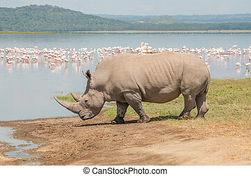 A white Rhinocores walks towards the flamingo filled lake to drink water.