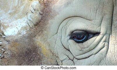 rhino close up - rhino eye close up