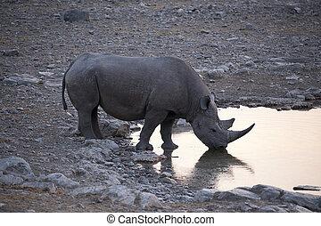 Rhino drinking water at sunset