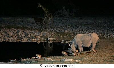 Rhino drinking water in waterhole - Side view of Rhino in...