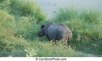 Rhino eats green grass. Chitwan national park in Nepal. -...