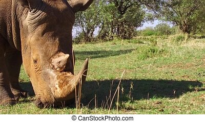 rhino gazing in savanna at africa