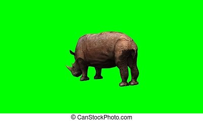 rhino grazing - green screen - rhino grazing on green screen