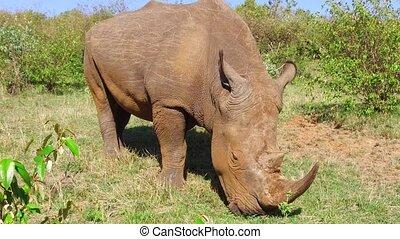 rhino grazing in savanna at africa