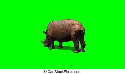 rhino grazing with shadow - green screen - rhino grazing...