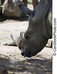 Rhino in profile
