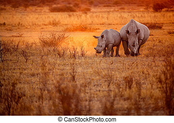 Rhino in sunset - Two rhinos graze in the sunset