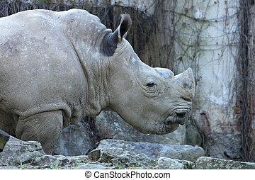 rhino in the ZOO of Ostrava city