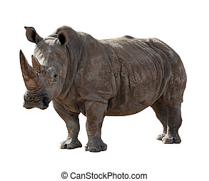 Rhino isolated on white - A large adult rhino isolated on a...