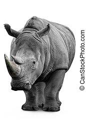 Rhino isolated on white