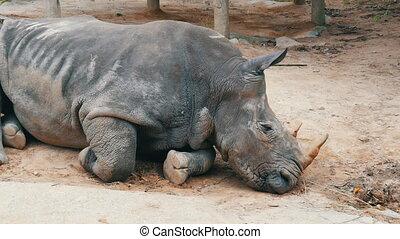 Rhino lies on the ground in zoo khao kheo Thailand - Rhino...