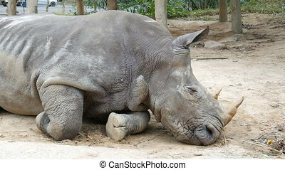 Rhino lies on the ground in zoo khao kheo Thailand