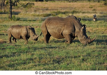 Rhino mother and baby family on safari in South Africa