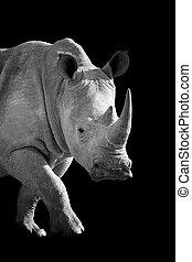 African white rhino on dark background. Black and white image