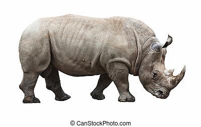 rhino on white background - huge rhino isolated on white