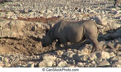 Rhino or Rhinoceros at a Waterhole in Etosha NP, Namibia