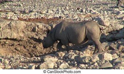 Rhino or Rhinoceros at a Waterhole in Etosha NP, Namibia