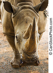 Rhino Portrait Close Up