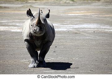 Rhino Ready To Charge in Kenya - Rhino - Lake Nukuru...