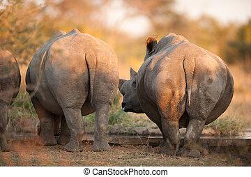 Rhino rear ends - Rhinos seen from behind, near Kruger ...