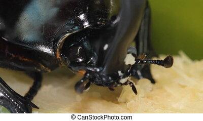 Rhino Stag Beetle