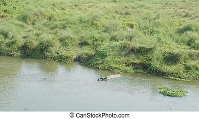 Rhino swims in the river. Chitwan national park in Nepal. -...