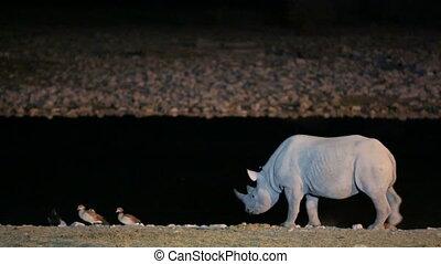 Rhino walking near waterhole - Front leg lame Rhino walking...