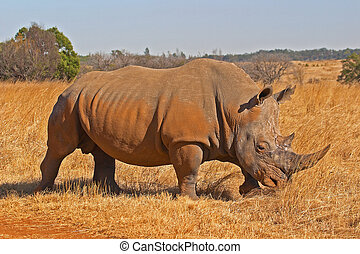 Rhino crossing dirt road