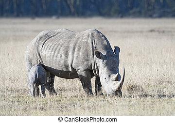 Rhino with calf suckling milk