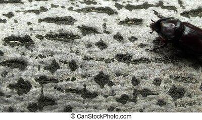 rhinocéros, beetle.